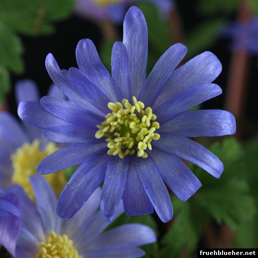 strahlen-anemone