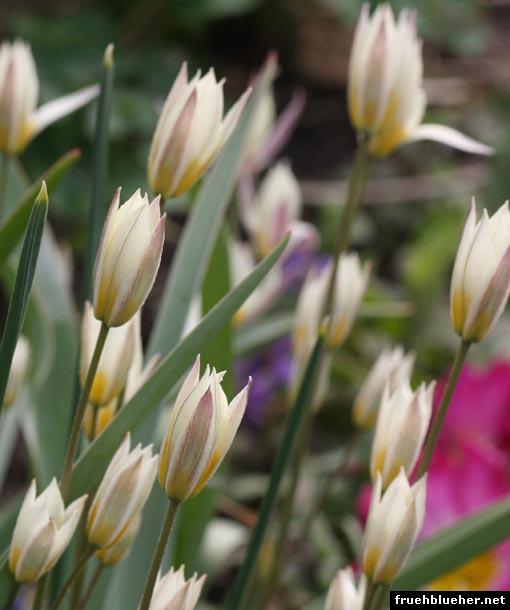 Gnomen-Tulpe