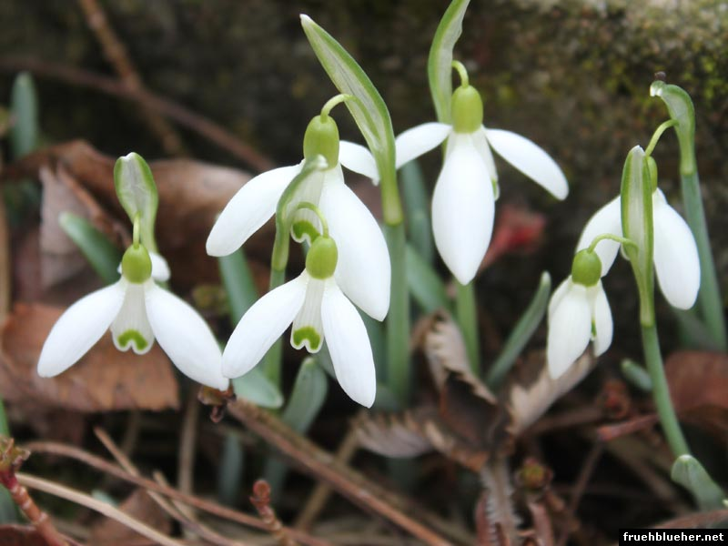 Schneeglöckchen Blüten