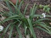 Sternbergia-Blätter
