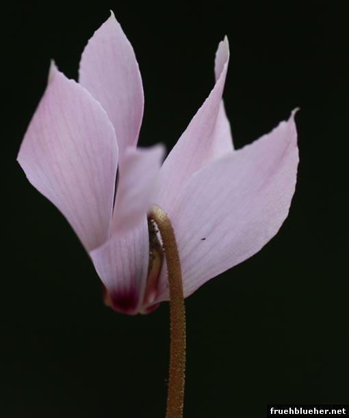 Alpenveilchen Blüte