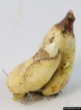 Erythronium Zwiebel