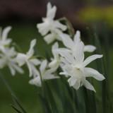 """Narcissus triandrus """"Thalia"""""""