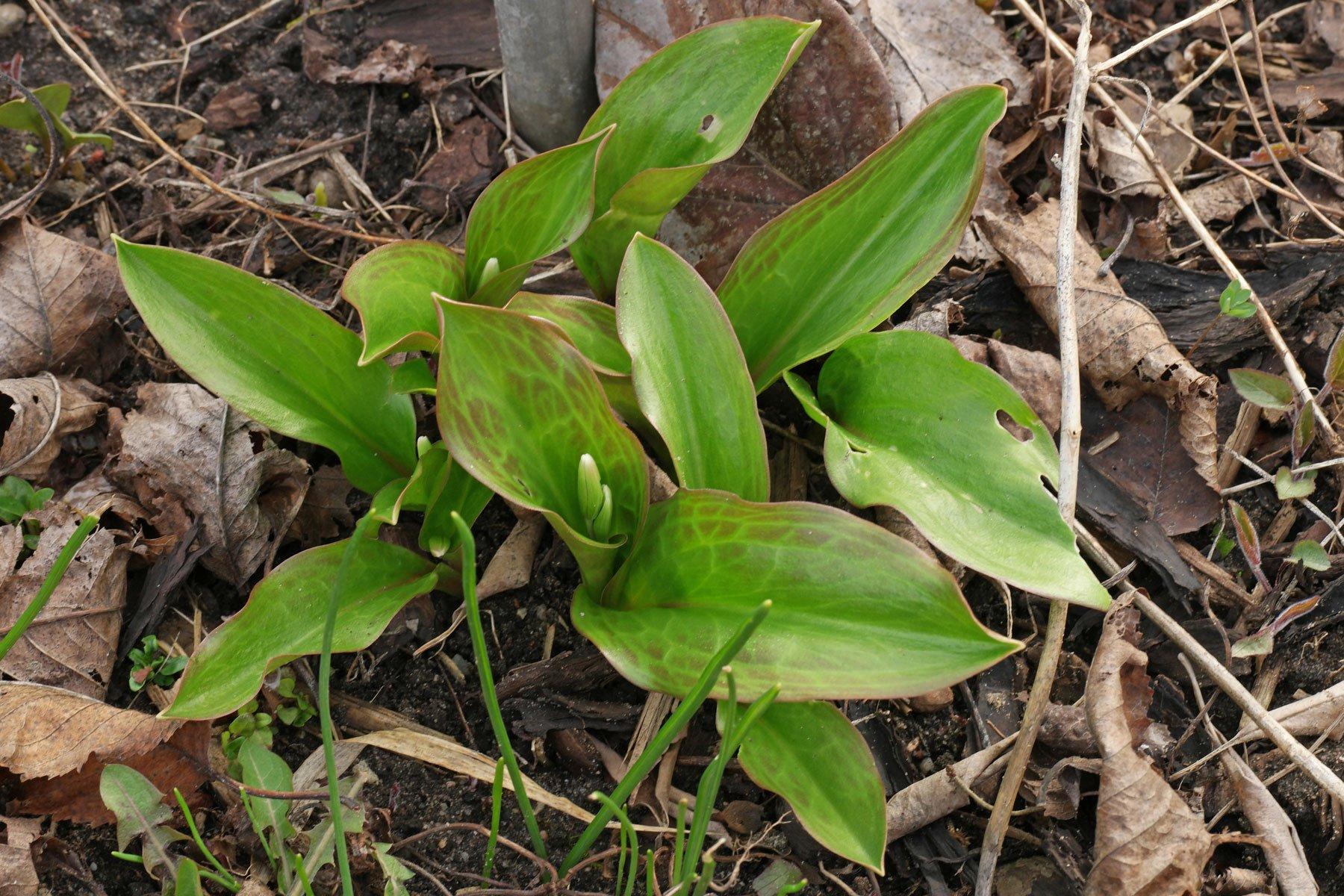 Hundszahn-Lilie-Blätter