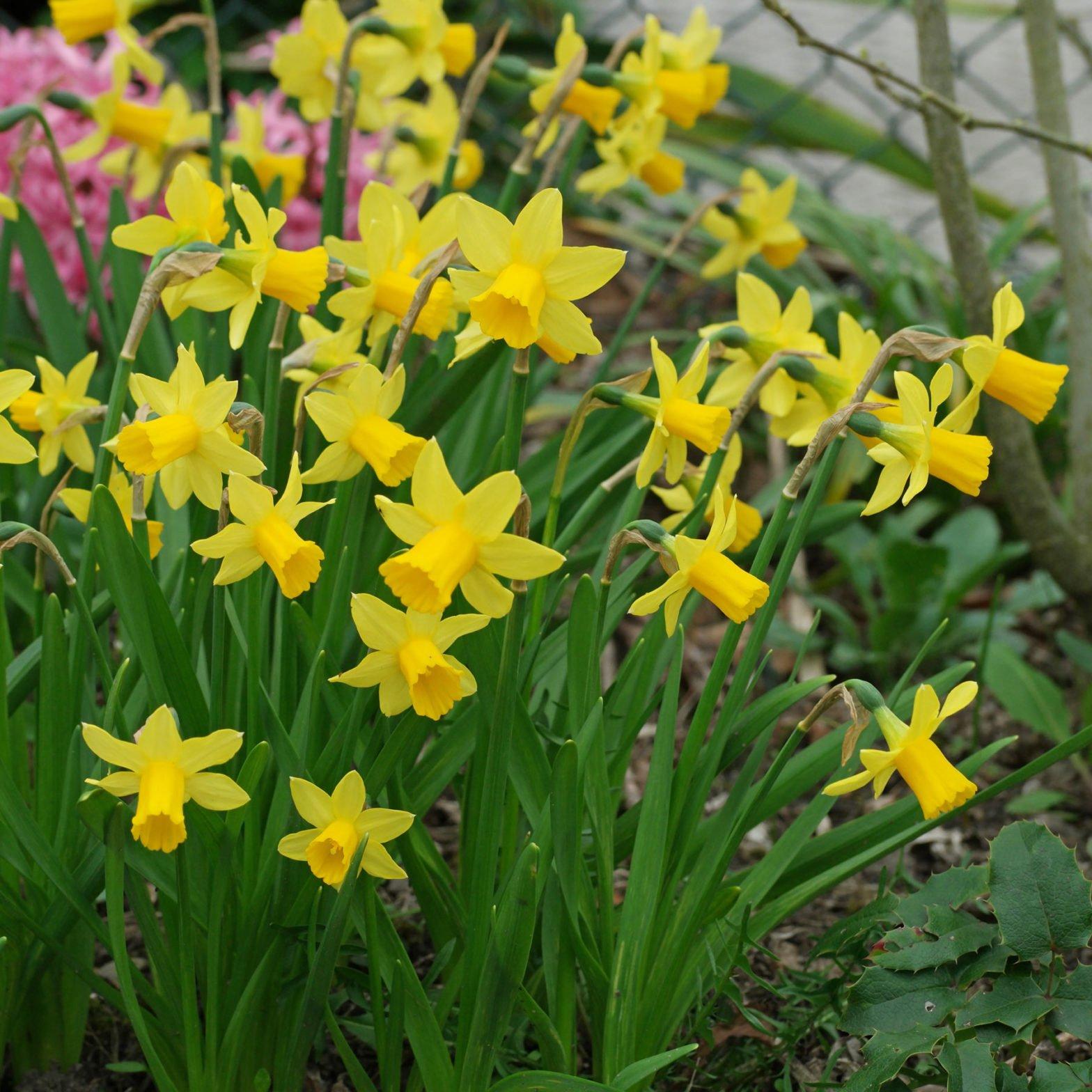Narcissus Tête à Tête